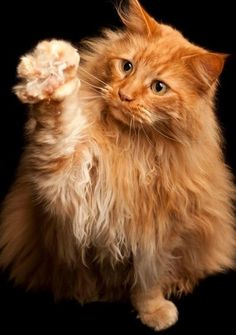 maine coon roux joue chasse