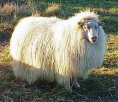 Icelandic Sheep, wool yarn, keeping sheep, raising chickens, on a Vermont hill farm Farm Animals, Animals And Pets, Cute Animals, Alpacas, Photo Animaliere, Sheep Breeds, Cute Sheep, Sheep And Lamb, Art Textile