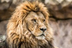 Big Cats, Lion, Artwork, Animals, Leo, Animais, Lions, Work Of Art, Animales