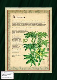 Rizinus - Wunderbaum