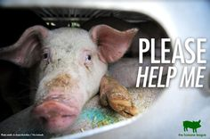 Can we continue to stand silent while they suffer? Stand up for something greater. #GoVegan #fortheanimals