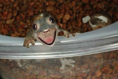 Gecko happiness is SO infectious that most people won& be able to get through this post without cracking a smile. What& your gecko tolerance? Smiling Animals, Happy Animals, Funny Animals, Cute Animals, Odd Animals, Animal Faces, Jonathan Safran Foer, Audre Lorde, All Gods Creatures