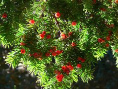 Yew. Raising the dead, protection against evil, immortality, and breaking hexes.  All parts of the plant, except the fleshy fruit, are antispasmodic, cardiotonic, diaphoretic, emmenagogue, expectorant, narcotic and purgative.  The leaves have been used internally in the treatment of asthma, bronchitis, hiccup, indigestion, rheumatism and epilepsy.  Externally, the leaves have been used in a steam bath as a treatment for rheumatism.