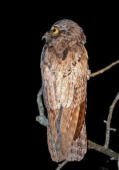 Northern Potoo, Mexico