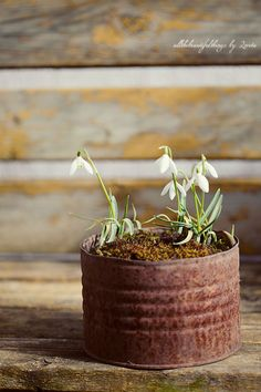 Snowdrops in rusty old can