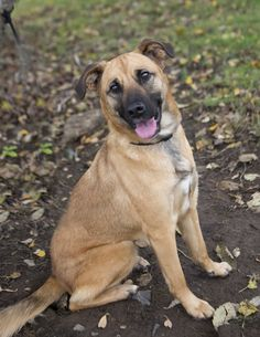 Boxer German Shepherd Lab Mix Picture Dogs Pinterest Dogs