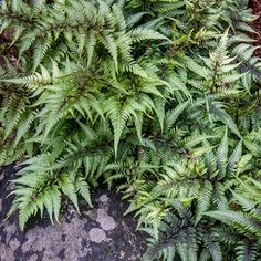 Learn How to Care for Outdoor Ferns With This Guide Best Picture For hardy Perennials For Your Taste You are looking for something, and it is going to Best Perennials, Hardy Perennials, Flowers Perennials, Perennial Geranium, Cranesbill Geranium, Perennial Plant, Shade Flowers, Lavender Flowers, Spring Flowers