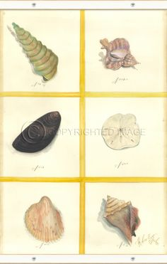 Canvas Seashell Set 1 - Sea Shells Painting By Kolene Spicher, Spicher and Company - Distinguished Imports
