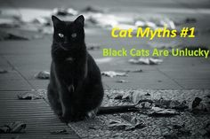 #cat_myths- black cats are unlucky Many people thought that if a black cat crosses your path, it is very unlucky for you. But Japanese people consider this to be a good luck.