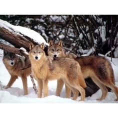Wolf Pack ❤ liked on Polyvore featuring animals, wolves, wolf and pictures