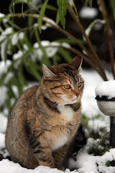Snow Cat deciding whether he likes the snow or not  ~