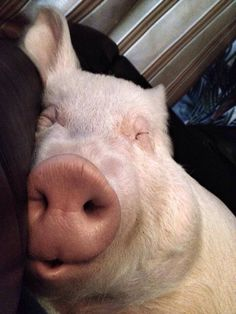 Sleepy pig ( I'm not a mini, micro nor a teacup.just a plain ol' pig. Cute Baby Animals, Animals And Pets, Funny Animals, Farm Animals, Pet Pigs, Baby Pigs, Teacup Pigs, Mini Pigs, Cute Piggies