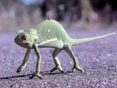 Nature Wallpaper: The Chameleon and the Grasshopper Dinosaur Toys, Majestic Animals, Good Buddy, Reptiles And Amphibians, Bearded Dragon, Nature Wallpaper, Chameleons, Lizards, Snakes