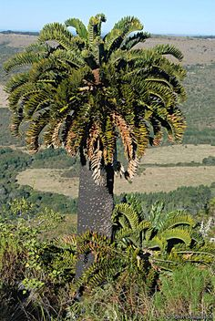 Encephalartos latifrons in habitat unbelievable!