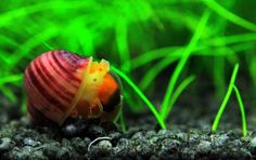 Red Apple Snail