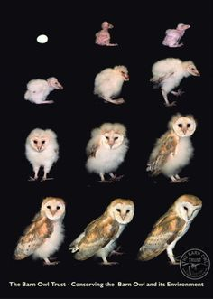 Egg to Barn Owl in 63 days!  Barn Owl facts and fun for kids - The Barn Owl Trust