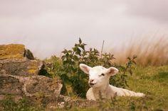 Relaxed lamb Thornton Moor