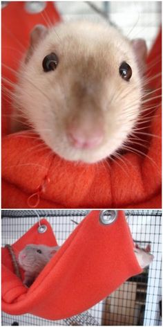 Cutest rat!