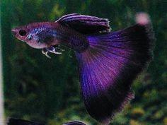 Base fish for Alana? Guppy, Saltwater Aquarium Setup, Tropical Fish Aquarium, Saltwater Tank, Tropical Freshwater Fish, Freshwater Aquarium Fish, Pretty Fish, Cool Fish, Beautiful Tropical Fish