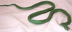 Grass Snake - young Halloween Supplies, Grass, Snake, Grasses, A Snake, Snakes, Herb