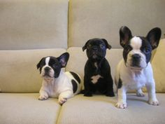 PEDRO HITOMI OSERA: Saiba tudo sobre o Bulldog Francês