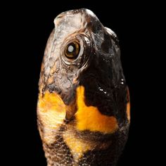 photo by @joelsartore | A bog #turtle at @ZooAtl. #Follow me to meet more members of the #PhotoArk. #nikonambassador #photooftheday