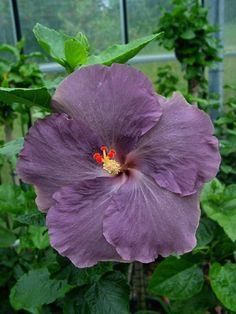 Rare Purple  Hibiscus Seeds Giant Dinner Plate Fresh Flower Garden Exotic Hardy Flowering Perennial  Tropical *356 357* by ToadstoolSeeds on Etsy