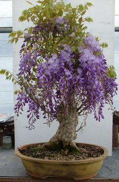 Petit bonsaï glycine