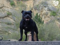 Staffordshire terrier texas - Google Search