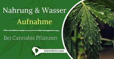 Die Aufnahmen von Nahrung und der darin enthaltenen gelösten Nährsalze erfolgt über die Wurzeln der Cannabis-Pflanze. Dieser Prozess erfolgt durch Osmose. Osmose ist ein physikalischer Prozess…Mehr Cannabis, Plant Leaves, Plants, Apothecary, Roots, The Last Song, Water, Tutorials, Separate