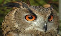 How the Owl Rotates its Head - amazing!