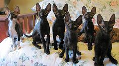 My sweet Romeo is from Kaylee Cornish Rex family - here are their new kitties