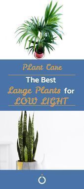 The Best Large Plants for LOW LIGHT Indoor plants have particular needs when it comes to light and air. Some aren't well suited to being indoors at all, others thrive. Here are the best large indoor plants you might want to consider for your home. Big House Plants, Real Plants, Large Plants, Tall Indoor Plants, Indoor Plants Low Light, Hanging Plants, Living Room Plants, Living Rooms, Small Garden Design