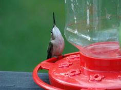 OMG the water was waaaayyyy up there when I started drinking. Hummingbird photographed by Doris Glander.