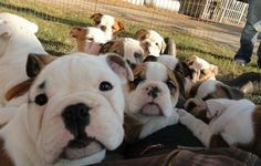 How many sweet faces can I handle at one time! Boxer Bulldog, Bulldog Puppies, Cute Puppies, Cute Dogs, Dogs And Puppies, Doggies, English Bulldog Care, English Bulldog Pictures, Baby Animals