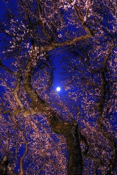 Glorious moonlight through flowering tree!