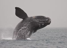Southern Right Whale - Suidkaper Walvis