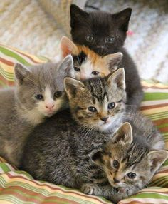 Kittens And Puppies, Cute Cats And Kittens, Kittens Cutest, Ragdoll Kittens, Tabby Cats, Bengal Cats, Cutest Pets, Pretty Cats, Beautiful Cats