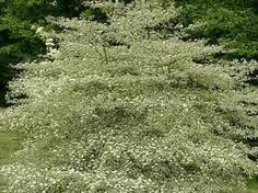 Image result for Cornus alternifolia 'Argentea' Pagoda Dogwood, Country Roads, Plants, Image, Plant, Planting, Planets