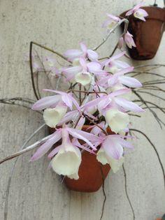 Detalhes orquídeas de Penapolis