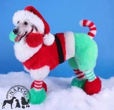 Dogs More creative grooming. Sharing is caring, don't forget to share ! Poodle Grooming, Pet Grooming, Christmas Animals, Christmas Dog, Merry Christmas, Extreme Pets, Dog Hair Dye, Poodle Hair, Creative Grooming
