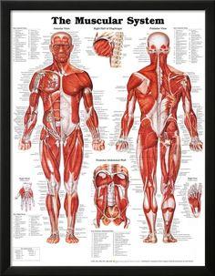 The Human Muscular System Laminated Anatomy Chart (Sistema Muscular Humano) in Spanish Muscular System Anatomy, Human Muscular System, Human Body Systems, Human Muscle Anatomy, Human Anatomy Chart, Anatomy Male, Anatomy Bones, Medical Anatomy, Anatomy Study