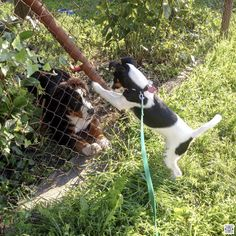9.8.2016 - day 75 - chit-chat with a neighbour  BlackBerry Passport  www.pavelvrzala.com  #SmoothFoxTerrier #puppy #little #dog #fence #BlackBerry #Passport