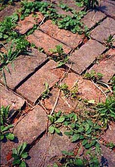 Baking soda and weeds ... A safe way to keep weeds and grasses from growing in the cracks of your paved patios, driveways, and walkways: Sprinkle handfuls of baking soda onto the concrete and simply sweep it into the cracks. The added sodium will make it much less hospitable to dandelions and their friends. Try it 2x/yr, spring and fall. Site has other ways to kill weeds.