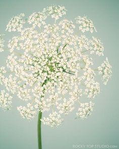 Queen Anne's Lace Flower Photo by Allison Trentelman - Rocky Top Studio