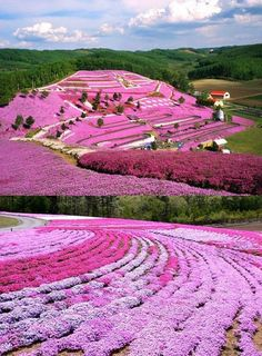 Shibazakura!  Hokkaido, Japan. There was me thinking this purple wonder field was made entirely of lavender . How wrong could I be ? .