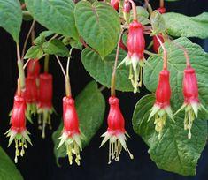 Fuchsia splendens   'Pere Noel'