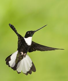 Collared Inca hummingbird suspended in the air, proudly showing off all its beauty! Ecuador.