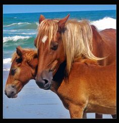 Outer Banks wild horses.... nothing is more beautiful than watching them run on the beach!