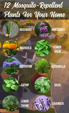 Here are 12 mosquito-repellent plants for your home AND your yard. Did you know that heartworms in dogs and cats are caused by a mosquito bite? Learn the facts about heartworm disease so you can keep your pet healthy and heartworm-free. Outdoor Plants, Garden Plants, Outdoor Gardens, Plants Indoor, Container Gardening, Gardening Tips, Organic Gardening, Horticulture, Plants That Repel Bugs